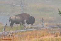 Bison in the Mist